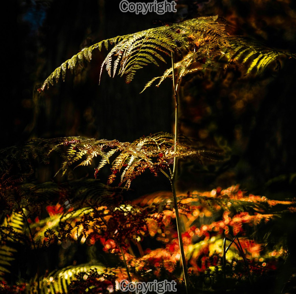 Mike Gibbons: The hunble bracken begins to fade to the fire of the woodland floor.  Equipment: Canon 7D & 135mm